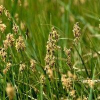 Цветение травы. :: Алексей .