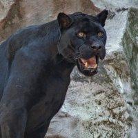Черный ягуар \\ пантера \\ :: Владимир Габов