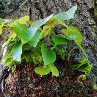 Молодые побеги на старом дереве :: Валентина Пирогова