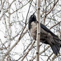серая ворона :: оксана