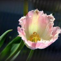 Расцвели тюльпаны в мае... :: Нэля Лысенко