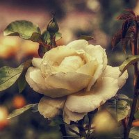 Роза :: - Derjavin -