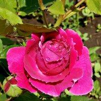 Пурпурная Роза после дождя :: Владимир Бровко