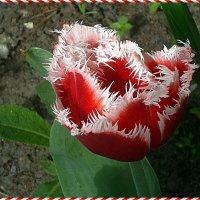 Тюльпан бахромчатый :: Вера