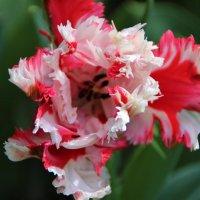 Очень привлекательный тюльпан.. :: Татьянка *