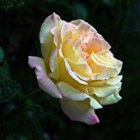 Ночная роза :: Vladimir Lisunov