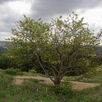 Абрикосовое дерево :: Валентин Семчишин
