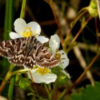 бабочки майского луга 2 :: Александр Прокудин