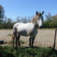 Белая лошадка :: Лидия Бусурина