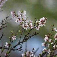 Вишенка цветёт ... :: Евгений Хвальчев