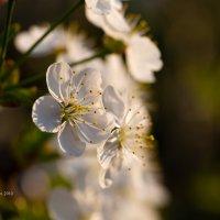 Цвет вишни макро :: Александр Синдерёв