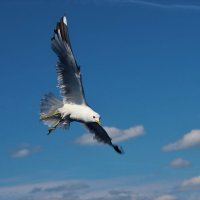 Чайка над Волгой. :: Ираида Мишурко