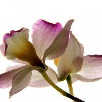 моя Орхидея :: Любовь