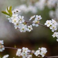 Ветка вишни :: Александр Синдерёв