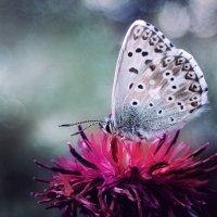 Как жаль, что  жизнь бабочки скоротечна.., но за этот крошечный миг ей надо успеть всё... :: Лилия .