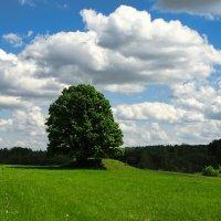 Одинокий дуб на зелёном поле :: Милешкин Владимир Алексеевич