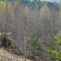 Апрельский лес :: Владимир Жданов