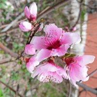 цветы персика :: valeriy g_g