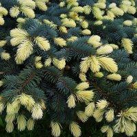 Ель колючая Bialobok - настоящий шедевр декоративного садоводства :: Елена Павлова (Смолова)