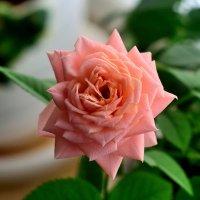 Роза на окне :: Владимир Филимонов