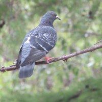 голубь сидит на ветке :: константин Чесноков