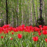 Время тюльпанов :: владимир тимошенко
