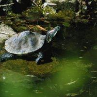 Черепаха греющаяся на солнышке. :: barsuk lesnoi