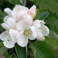 Букетик на яблоне :: Galina Solovova
