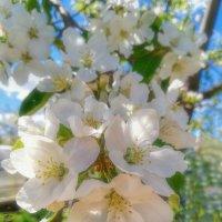 Яблони в цвету :: Vladimbormotov