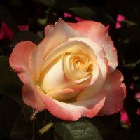 Роза. :: Nata