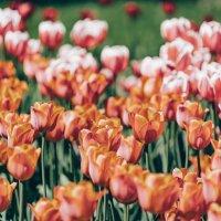 тюльпаны :: Павел Черноногов