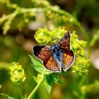 крылатые луговые цветы 5 :: Александр Прокудин
