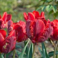 Яркие попугайные тюльпаны :: lady v.ekaterina