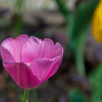 Время тюльпанов :: Grey Bishop