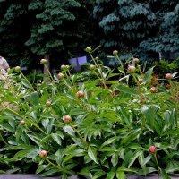 Пионы на Сергиево-Казанского кафедрального собора :: Надежд@ Шавенкова