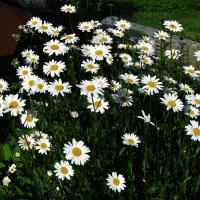 Букет в саду :: sm-lydmila Смородинская