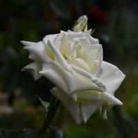 Донна Роза. :: Константин