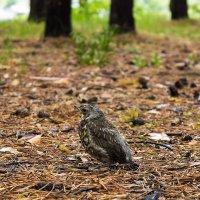Angry birds или встреча в лесу :: Дмитрий Костоусов