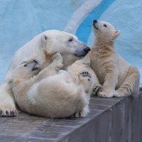 Белые медведи :: Владимир Шадрин