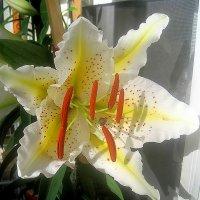 Расцвела моя лилия на балконе :: Елена Семигина