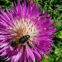 пчелка :: жанна janna