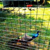 Павлин в Барнаульском зоопарке :: Елена Горбатова