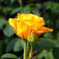 Жёлтая роза :: Larisa