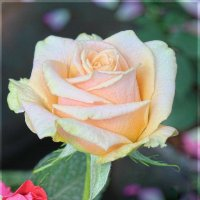 Роза :: Larisa