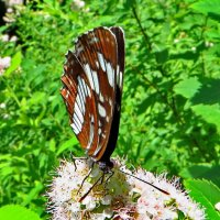 *Пеструшка таволговая Neptis rivularis :: vodonos241