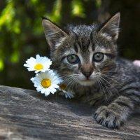 Котенок с ромашками :: Ольга Милованова