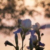 Ирисы на закате :: Galina