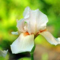Чудесная пора цветения ирисов :: * vivat.b *
