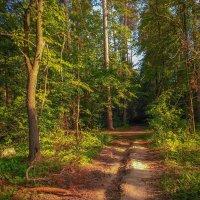 Дорога в лесу :: Александр Шишин