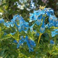 хохлатка голубая :: Lyudmila